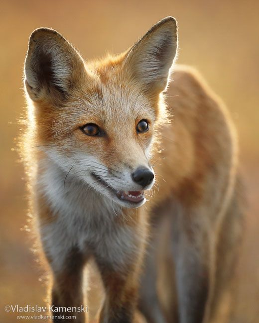 Another curious fox