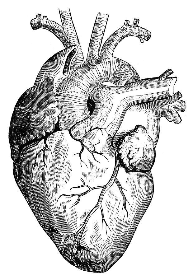 Сердце картинки анатомия, днем
