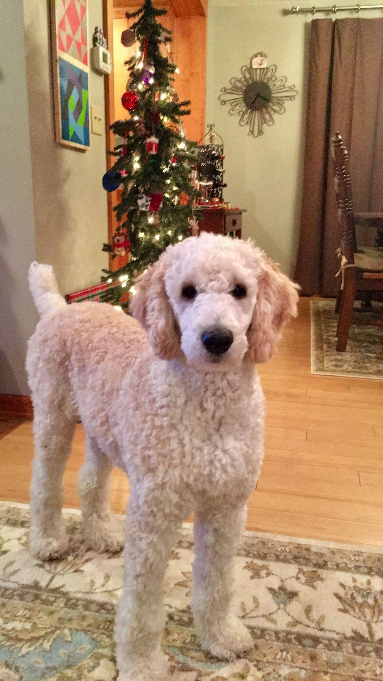 16 new goldendoodle haircut guide pictures meowlogy pin on pets of all kinds