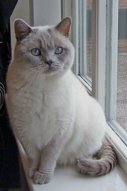 Sign In Beautiful Cats British Shorthair Cats Cat Breeds