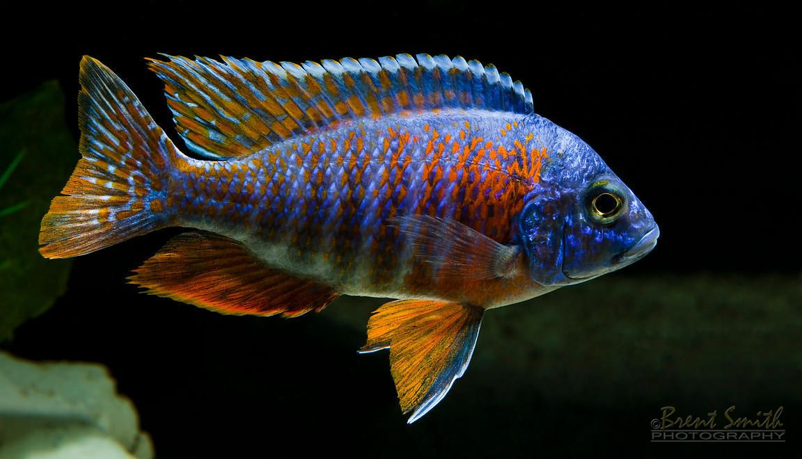 Red peacock cichlid mine 39 s no where near this bright yet for Cichlid fish for sale