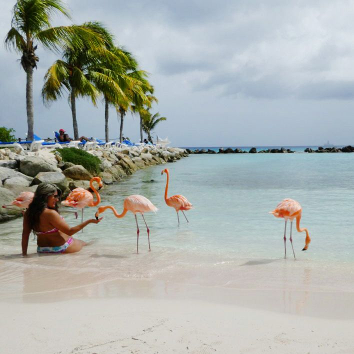 Caribbean Flamingos on the beach