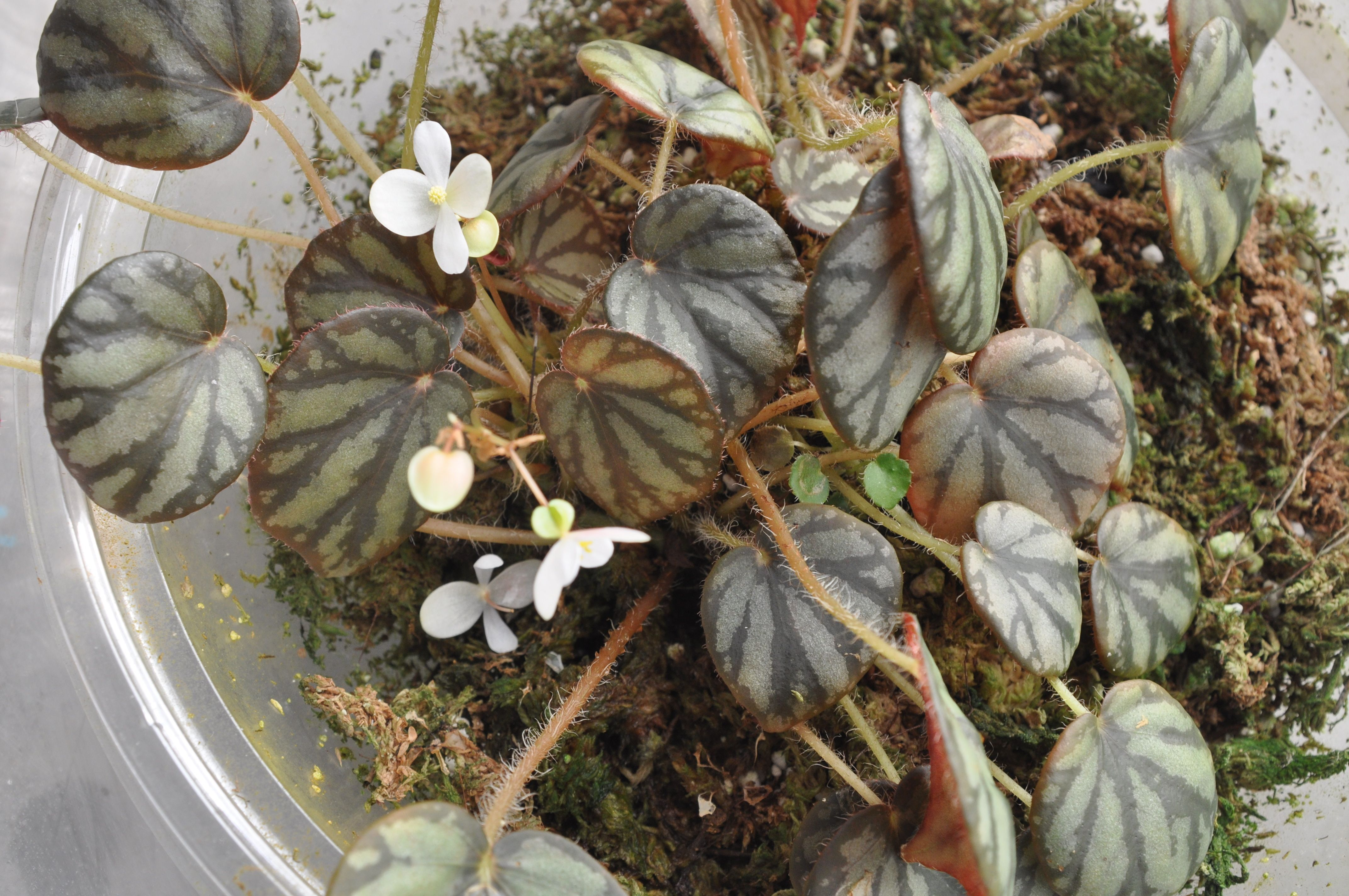 Begonia Luzonensis Is Beautiful Species From Luzon Philippines The Leaves Are Small And It Makes An Ideal Terrarium Plant It Plants Begonia Terrarium Plants