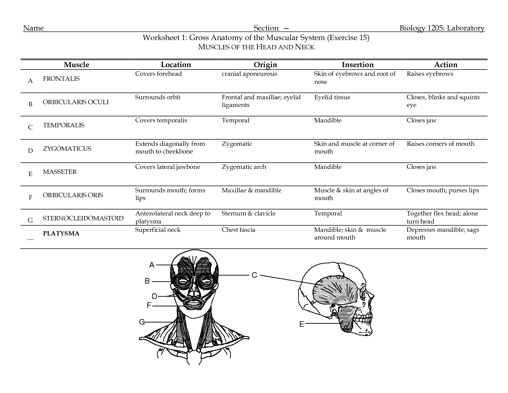 Origin And Insertion Of Muscles Worksheet