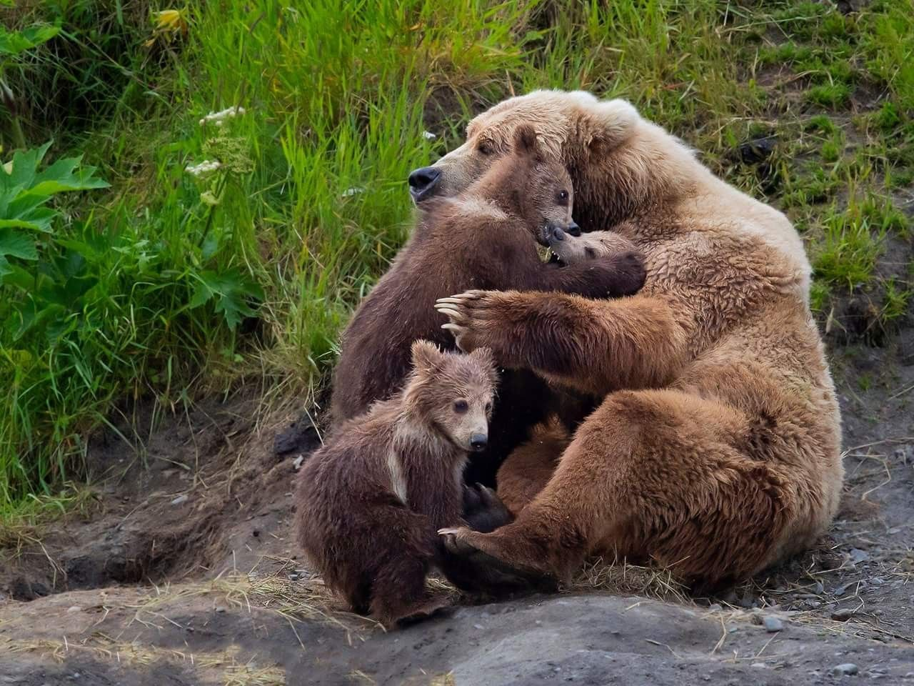 """""""Mamma"""" with her paws full of love! 😍 Mamma is an older bear that everyone thought was past her cub bearing years. She surprised everyone this summer with triplets! Wenona Suydam, Kodiak AK"""