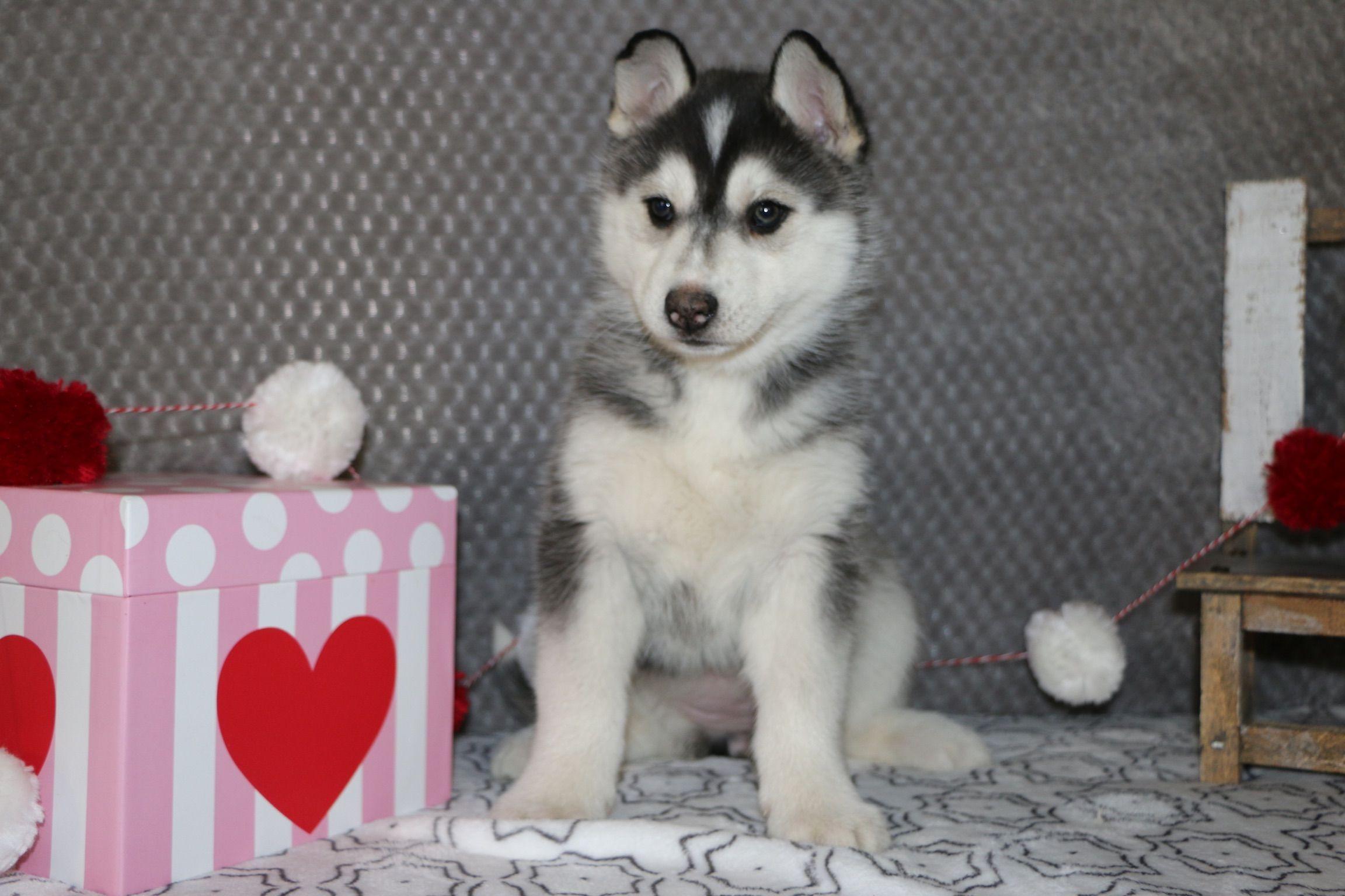 Tasha a female AKC Siberian Husky puppy for sale in