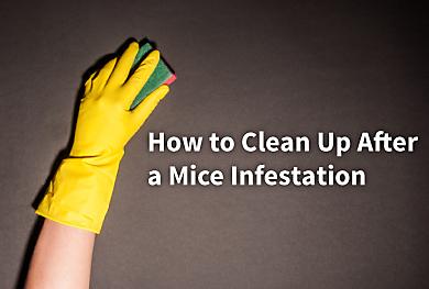 how to clean up rat poop