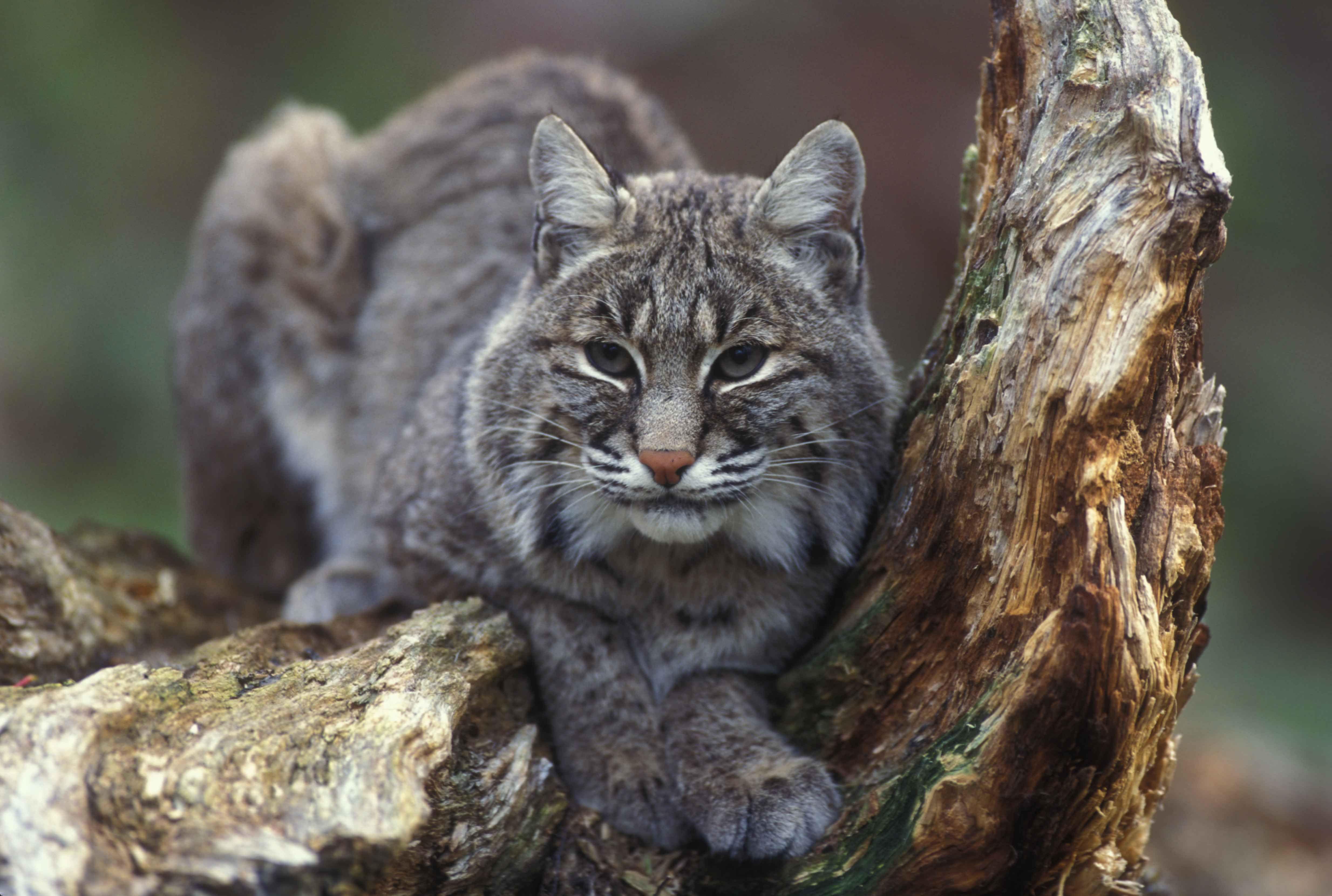 Bobcat in a tree (4936×3320) Wild cats, Animals, Cat care