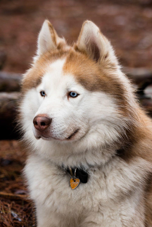Toledo Pet Photography Metzger Huskies Oak Openings Husky Pet