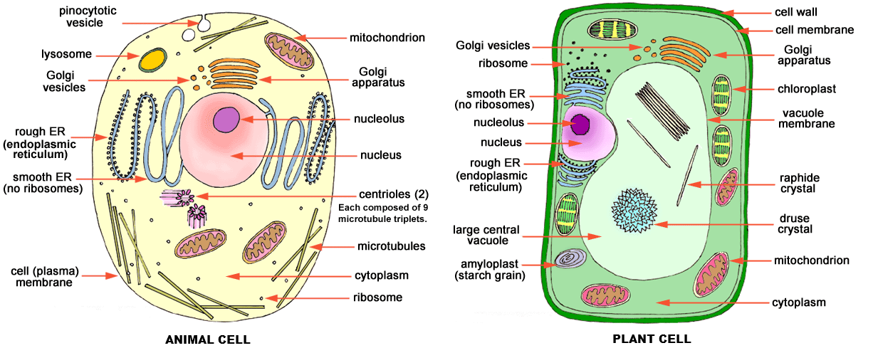 human cells vs plant cells vs bacteria cell Google