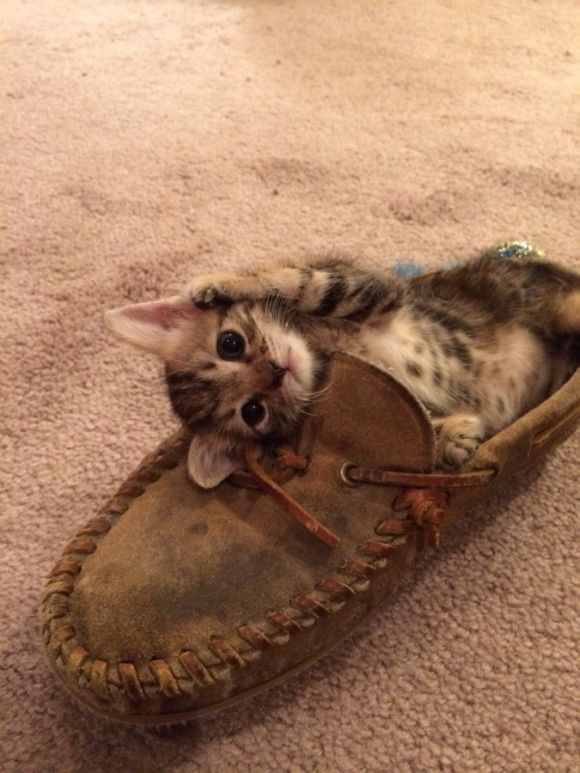 adorable little kitten playing in a shoe