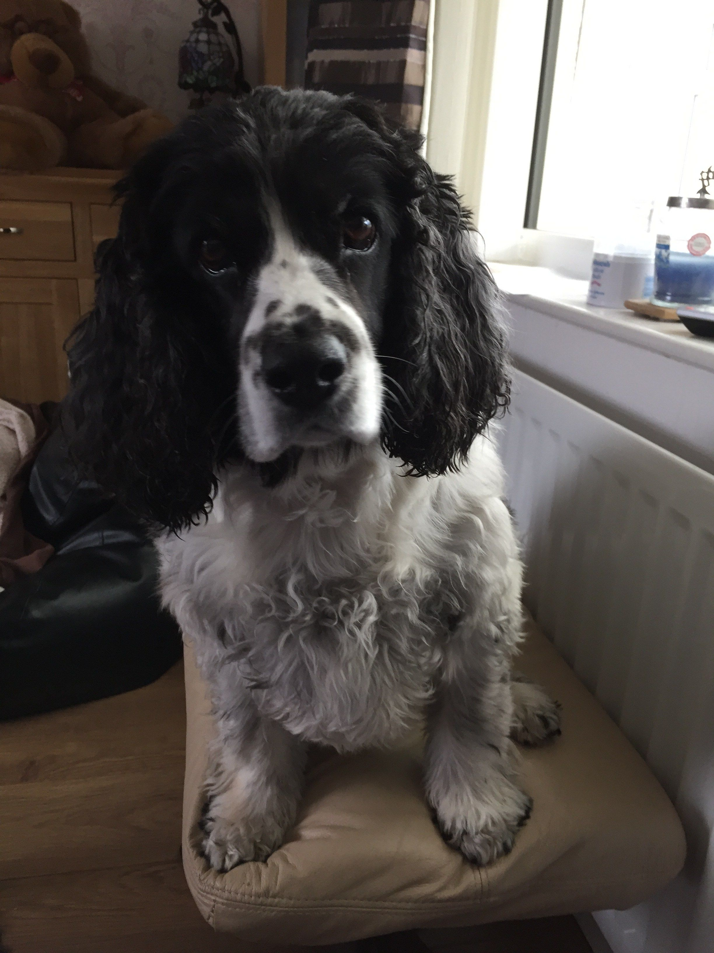 Tis A Dog S Life Meet My Cocker Spaniels Lucy And Rosie Cocker Spaniel Dogs Spaniel