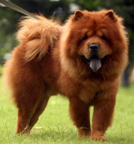 Chow Chow Pretty Red Dangerous Dogs
