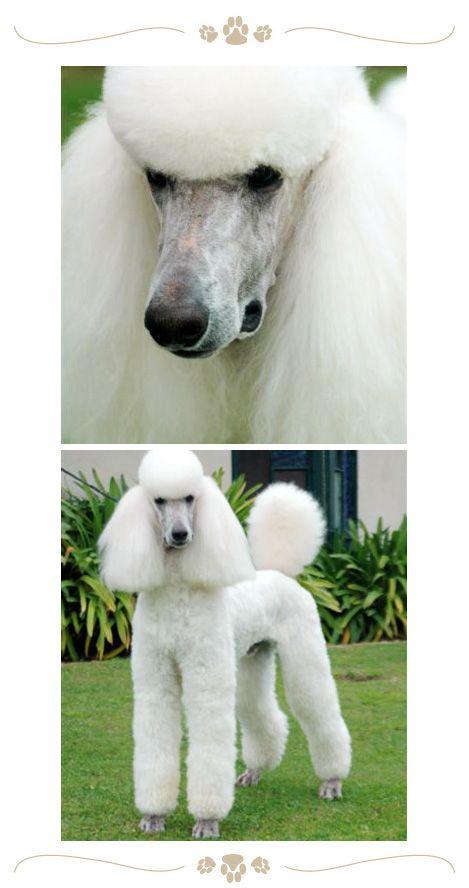 Standard Poodle Jaset S Justification Aiden Beautiful Dog