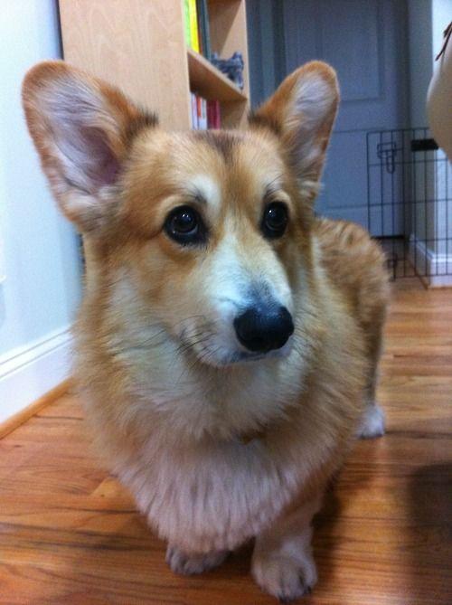 Adorable Dog Named Jasper Pembroke Welsh Corgi Pembroke Welsh