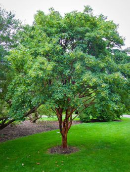 Japanese Maple Trees | Buy Japanese Maple Trees | The Tree Center #japanesemaple