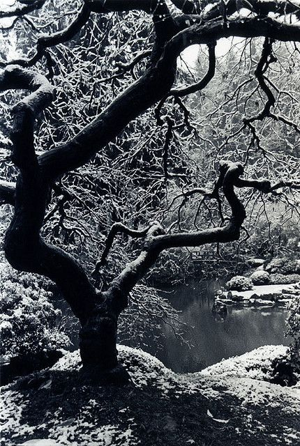 Japanese Maple, Winter