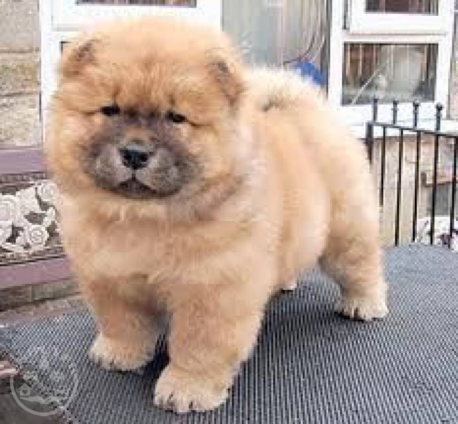 Two Chow Chow Puppies For Sale Glasgow Uk Buyer Animals Chow