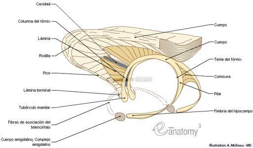 Cuerpo Calloso - Fórnix : Anatomía Humana (Dibujo anatómico - Pico ...