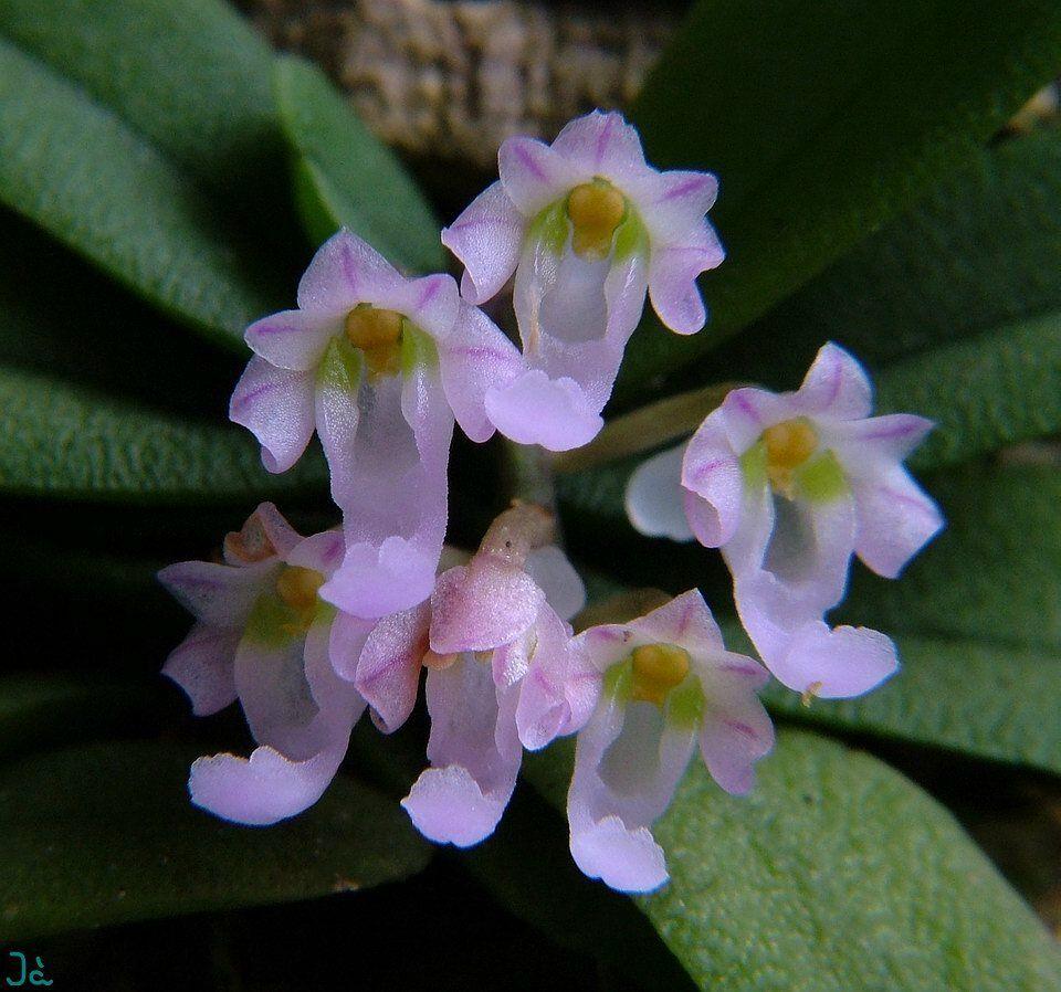 schoenorchis seidenfadenii orchideen pinterest. Black Bedroom Furniture Sets. Home Design Ideas