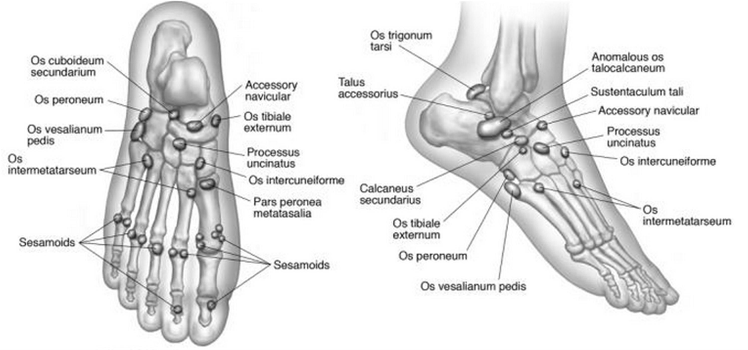 Diagram All Ossicles Of Foot