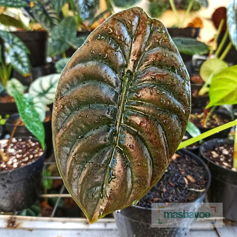 Alocasia Cuprea Alocasia Alocasialover Alokasia Alocasiafrydek Indonesiaplantclub Indoorplant Indoorplants Plantsmakemehappy Plantsmakepeoplehapp Bunga