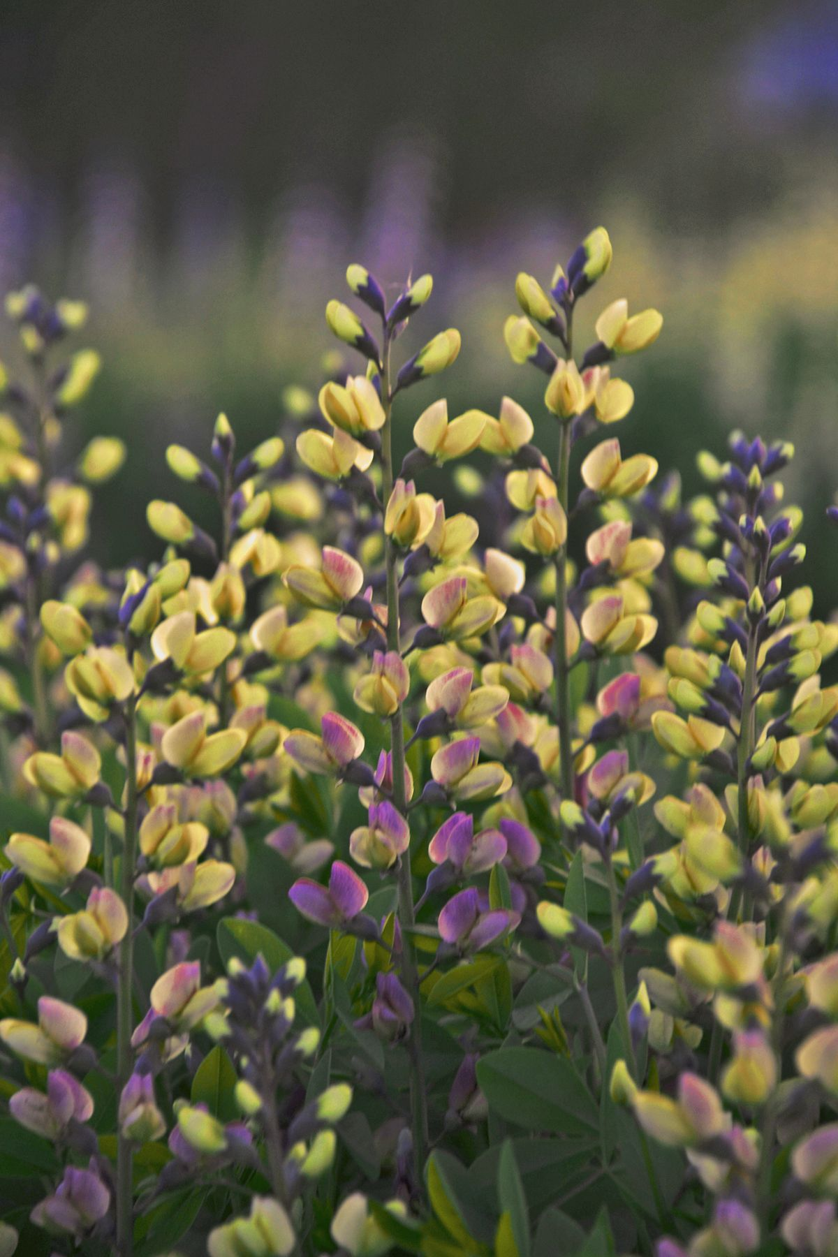Baptisia Decadence Deluxe Pink Lemonade False Indigo Tall