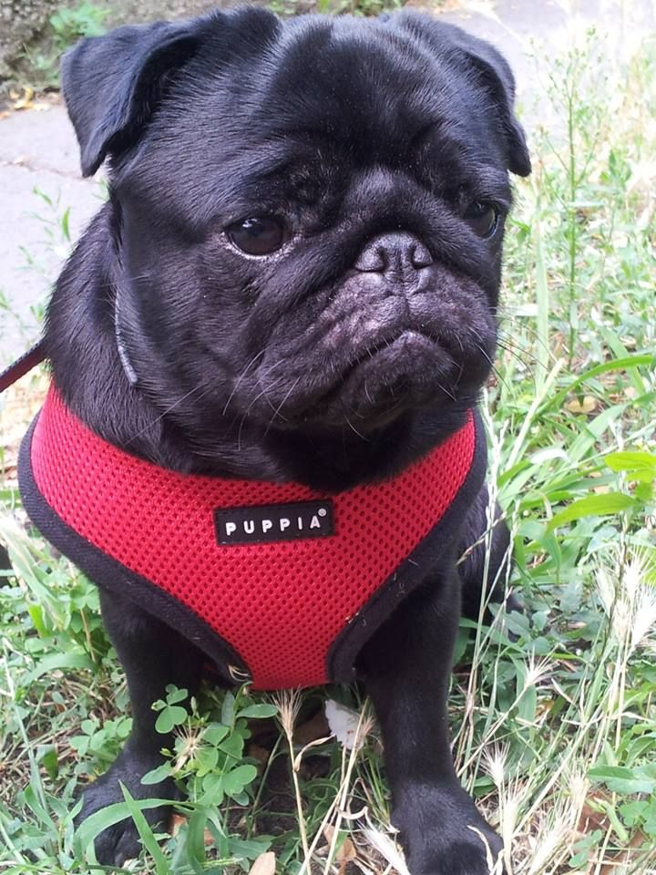 Puppia Red Harness At Www Ilovepugs Co Uk Cute Pugs