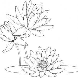 dibujo de nenufares para colorear | ropa | Lilies drawing, Flower