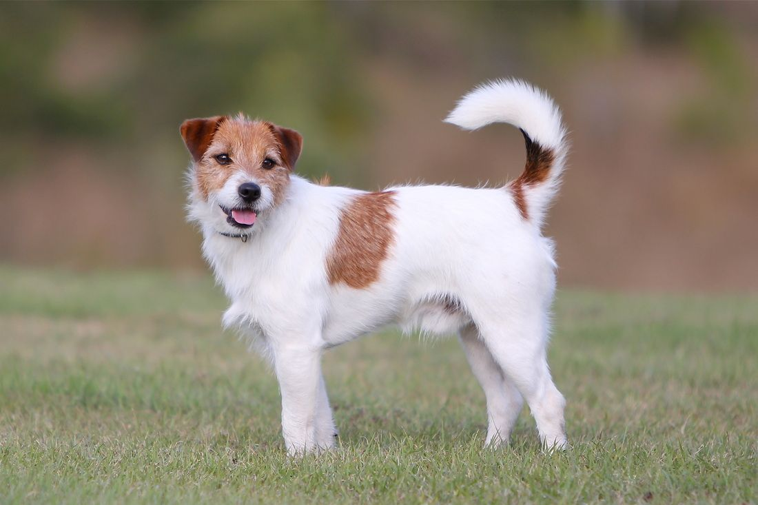 Welcome To Tobin Jack Russell Terriers Home Jack Russell Jack Russell Terrier Jack Russell Dogs