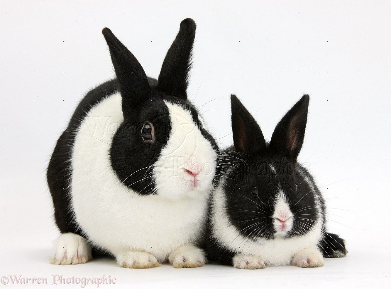 Dutch rabbit and black-and-white baby bunny ... | black ...