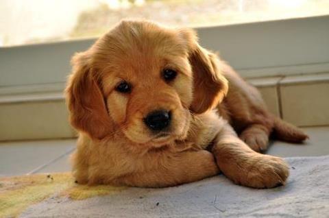 Awww Baby Animals Animals Red Golden Retriever Puppy