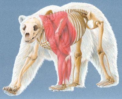 Polar Bear Anatomical Composite | bears | Pinterest | Polar bear ...
