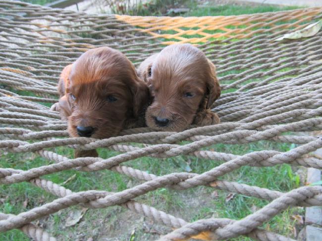 Breeder Irishdoodle Puppies Southern Illinois Puppies