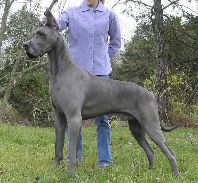 Adult blue Great Dane