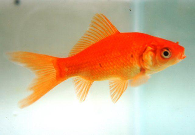 Image gallery orange gold fish for Koi vs goldfish
