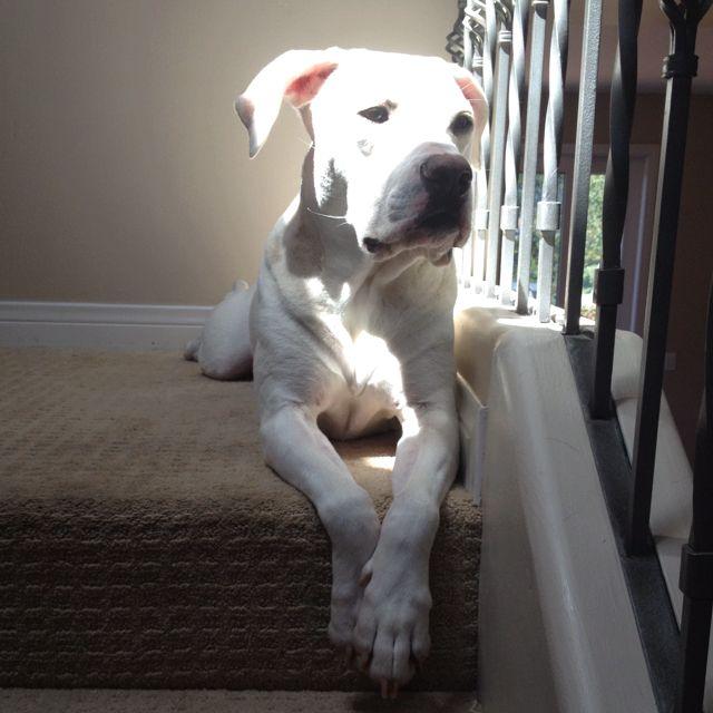 Midas loves the sun Animals, Dogs, Pitbulls