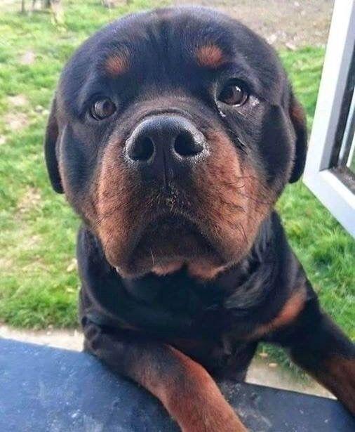 Pin By Conni Bennatt On Rottweiler Dogs Guard Dog Breeds