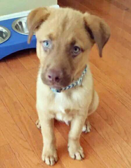 Zephyr The Australian Shepherd Labrador Retriever Mix Australian