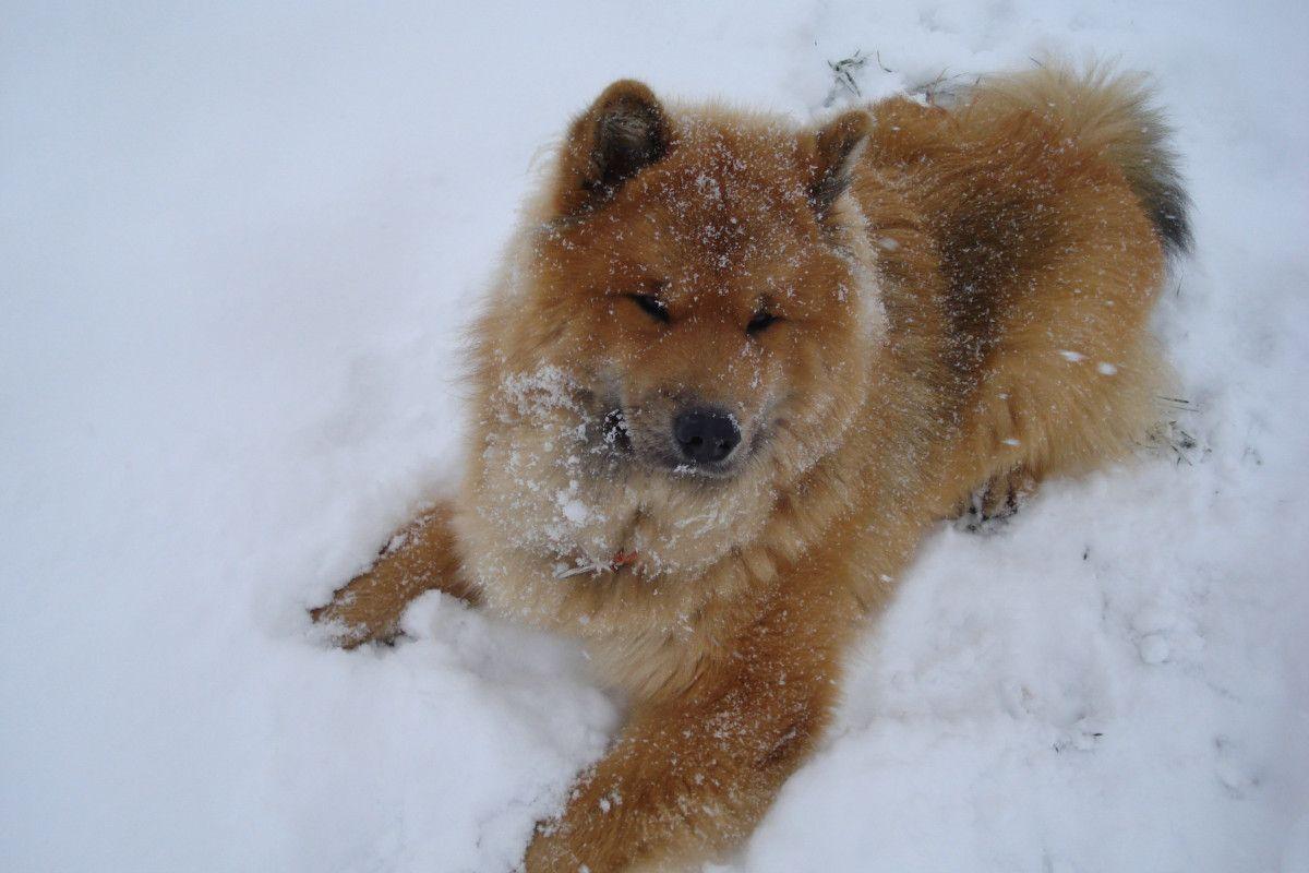 Django Atz Eurasier Vom Libellengarten Eurasier Pup Corgi