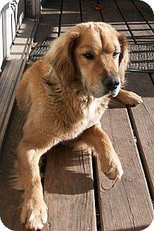 Danbury Ct Golden Retriever Shepherd Unknown Type Mix Meet