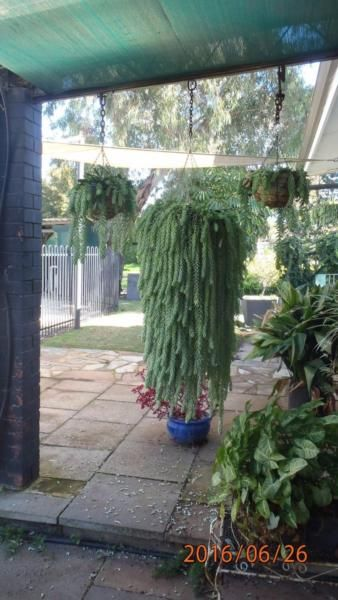 Sedum Sedum Hanging Baskets Donkey Tailsi Plants Gumtree