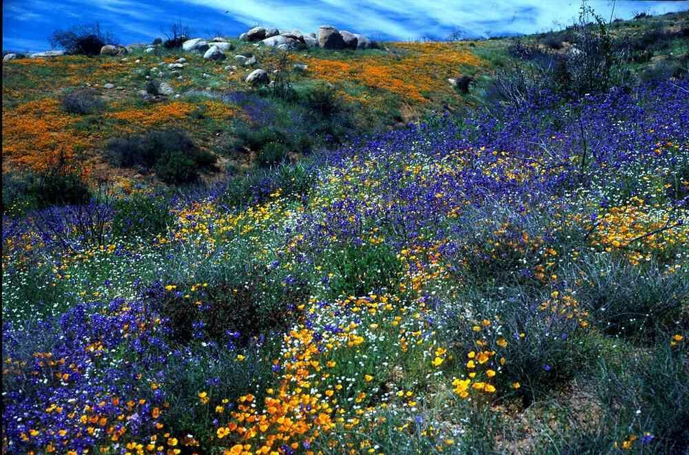Sonoran Desert Sonoran Desert Region Wild Flowers Desert
