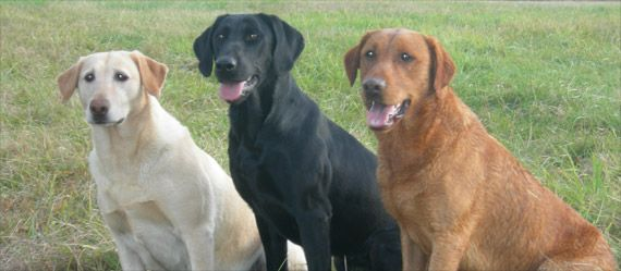 Super Yellow Labradors | Blue Sky Labs - Master Hunter and Field Trial VY-52