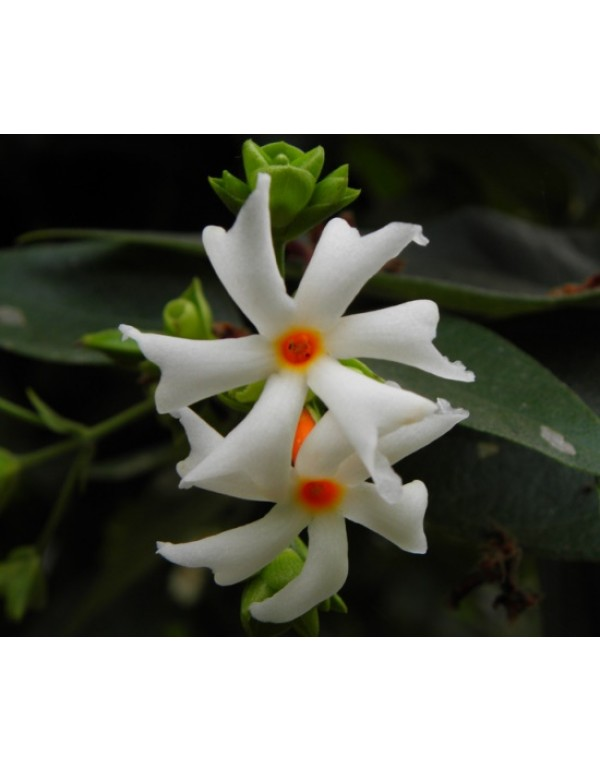Parijat White Color Flowering Plant Planting flowers