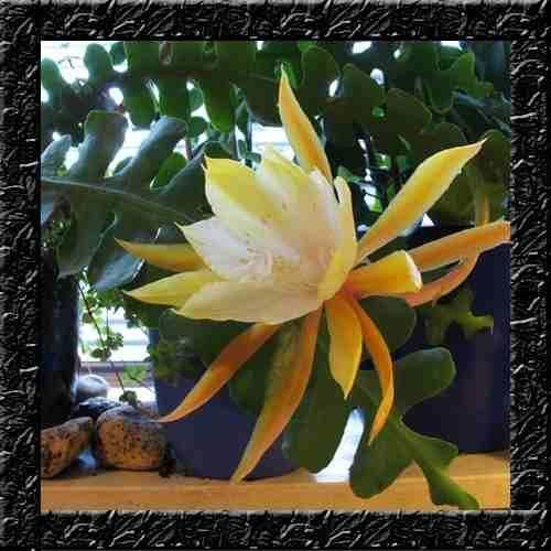 Sementes De Flor Cacto Orquidea Zig Zag Angulier P Mudas R 12 99 Sementes De Flores Plantas De Sombra Cactos