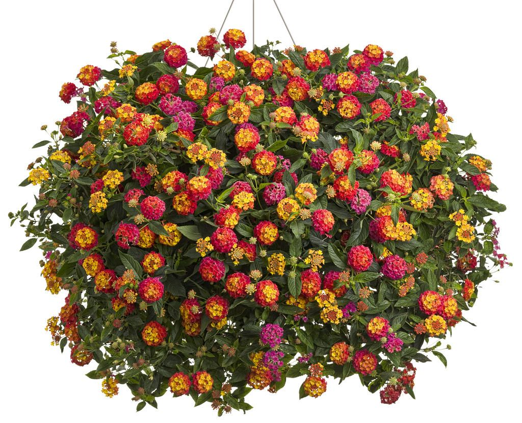 Lantana Hanging Basket Entrancing Lantana Hanging Basket  Flower Power  Pinterest  Gardens Plants 2018