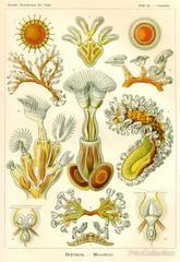 Print Collection - Flagellata - Scheiben-Strahlinge - Heliodiscus