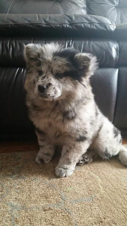 Australian Shepherd Chow Chow Mix Adorable Http Ilovedogs Win