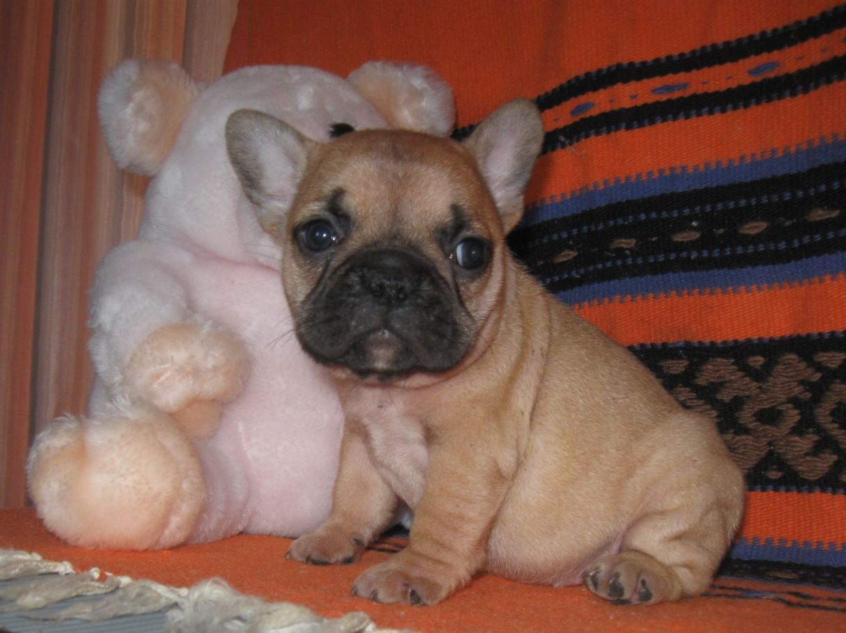 French Bulldog Puppies for Sale in Oklahoma Osage